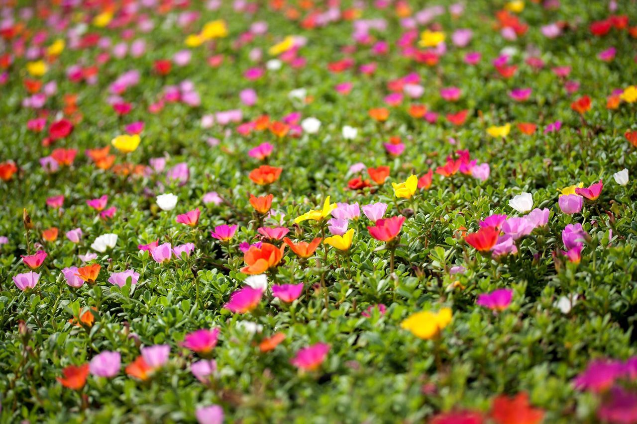 Flower Growth Beauty In Nature Nature Petal Freshness Plant Red Field Outdoors Multi Colored Poppy Flowers Flowers,Plants & Garden Flowerfield Flower Field Garden Colorful Background