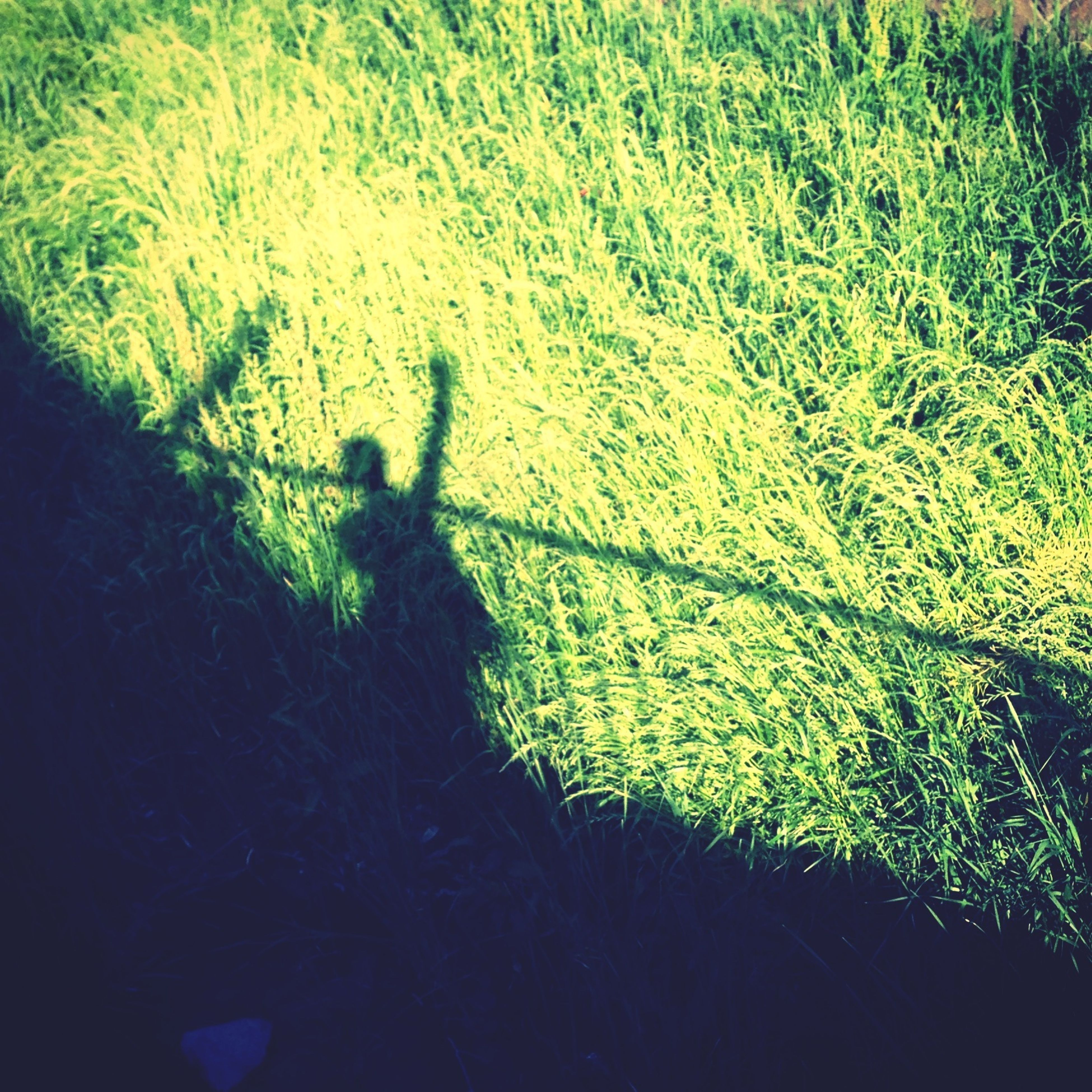 shadow, high angle view, grass, focus on shadow, field, sunlight, growth, nature, green color, unrecognizable person, plant, grassy, outdoors, day, walking, animal themes, lifestyles, tranquility