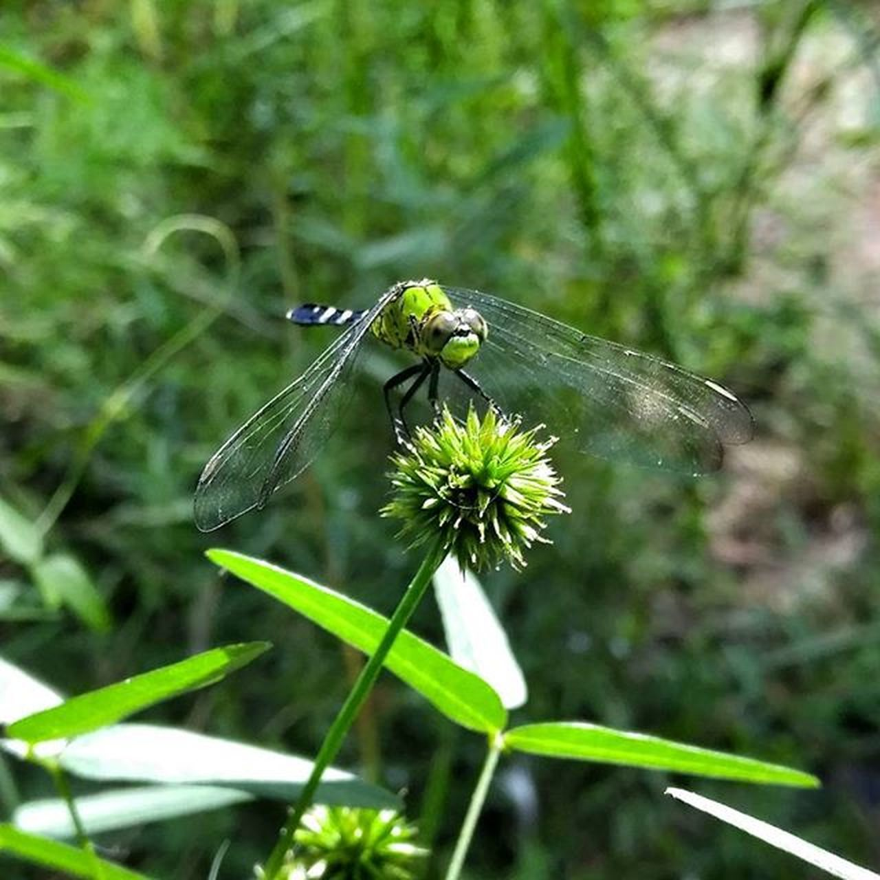 This DraggonFly ( EasternPondHawk ) travelled with me on my entire hike on the Lonestar Trail in Samhouston Nationalforest , always landing and peepin me out every time I stopped to Absorb my Surroundings . I got a few great shots but Love this one... She had brothers and sisters join in on our journey but she always stayed juat ahead of me as if she was guiding me. For me this Beautiful being embodied my Angels that watch over me. Blessed  Hiking Exploring ProgressiveRelaxation Feedingmysoul Greatoutdoors TheLittleThingsInLife is what I mostly Appreciate Goout MakeItHappen Nature Wildlife Special Noedit taken with my LGG4 Manualfocus