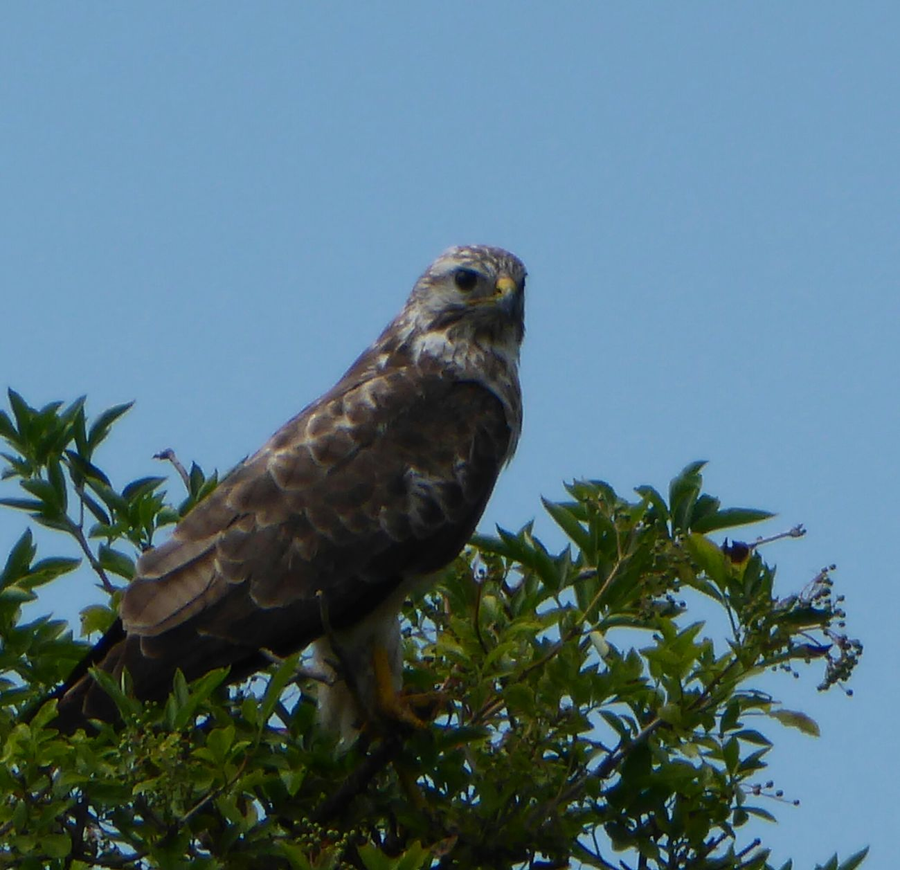 Animals In WildlifeMäusebussard Common Buzzard Animals In The Wild Magicmoment Enjoying Life Nature Photography Birdwatching Birds_collection Beautiful Nature Animals Posing Birds Of EyeEm  Naturelovers Hi! On The Way Birds In The Wild Adventure Club Showcase July