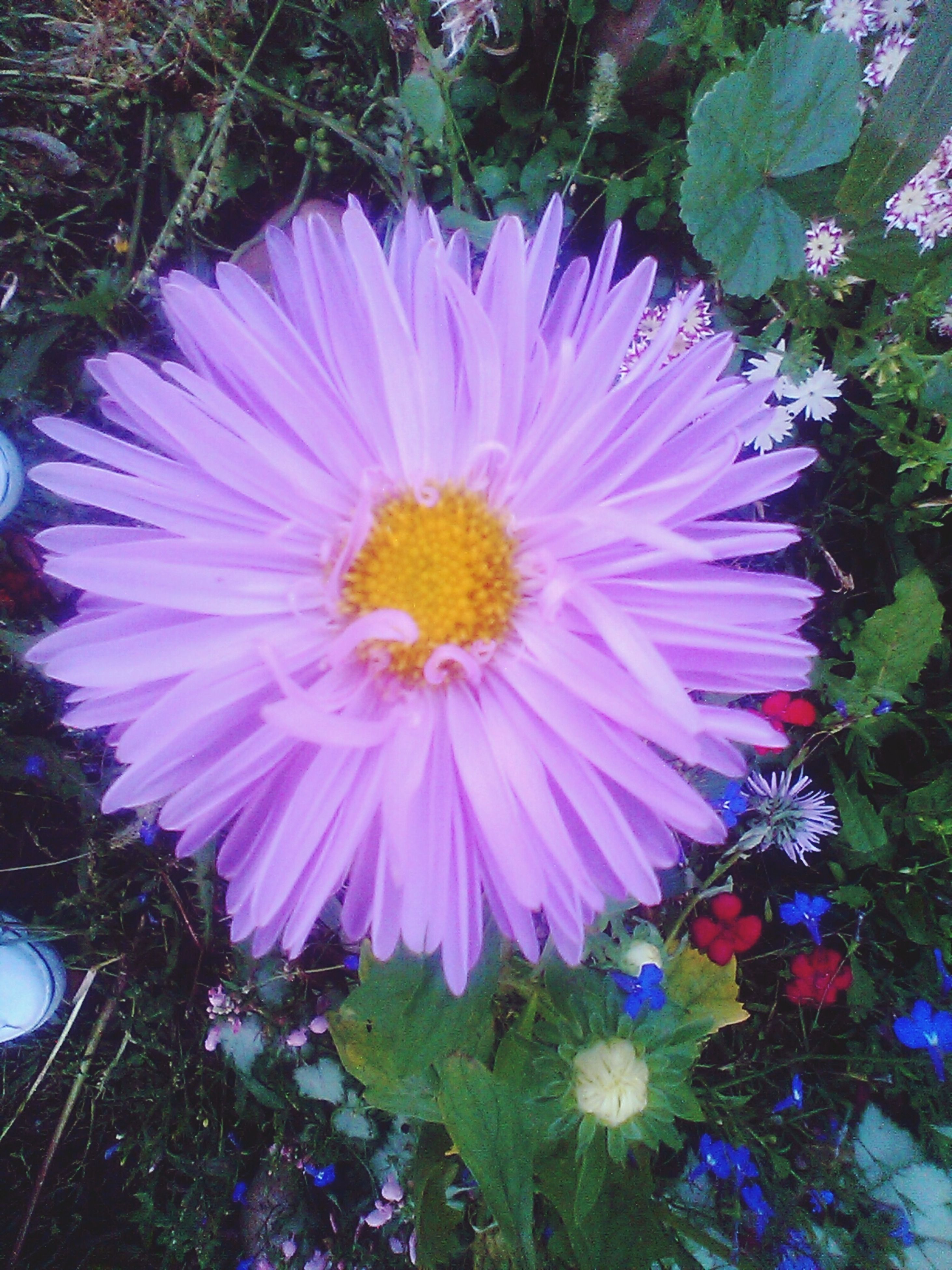 flower, petal, freshness, fragility, flower head, growth, beauty in nature, single flower, blooming, pollen, plant, nature, close-up, high angle view, purple, in bloom, pink color, leaf, outdoors, blossom