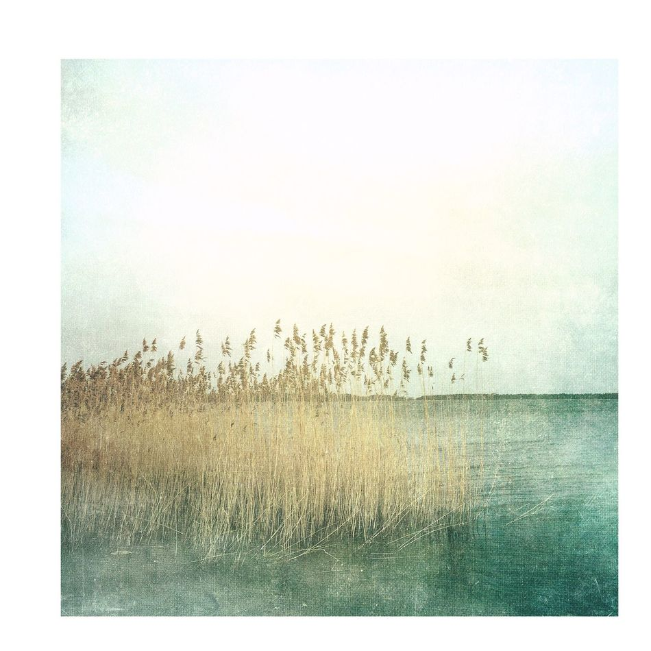 Reed Reed - Grass Family Painterly