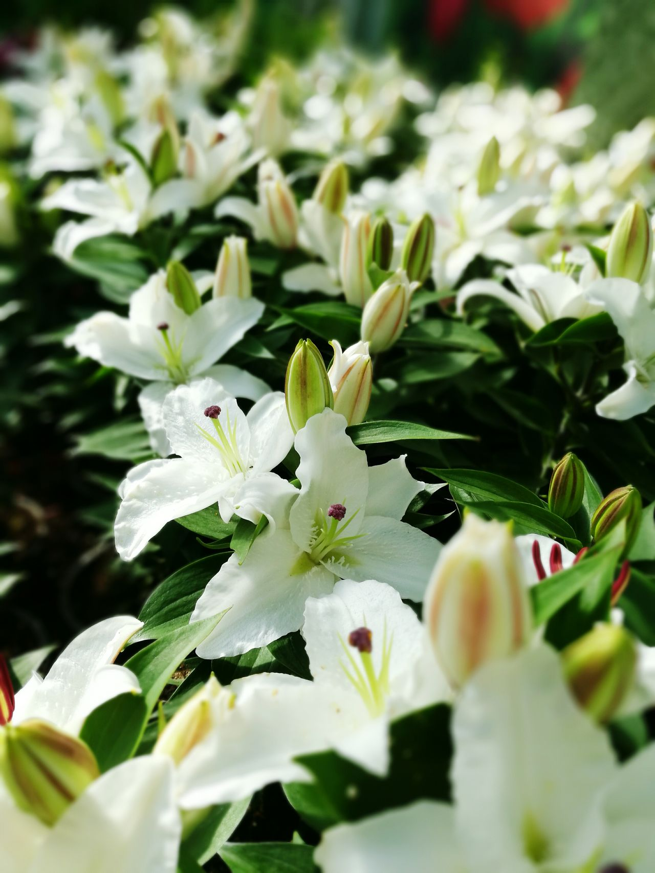 Lilies rows Nature Background Leaf Growth Plant Flower Flower Head Freshness Green Color Lilies Lily Lilies In Bloom Fullframe Pure White Garden