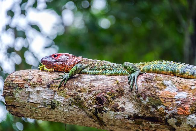 View of a red headed iguana in the Amazon rainforest in Brazil Adventure Amazon Amazonas Amazonia Brazil Flooded Forest Green Iguana Jungle Lake Nature Outdoors Park Rainforest Reptile River South America Tabatinga Travel Tree Tropical Vacation Water Wildlife