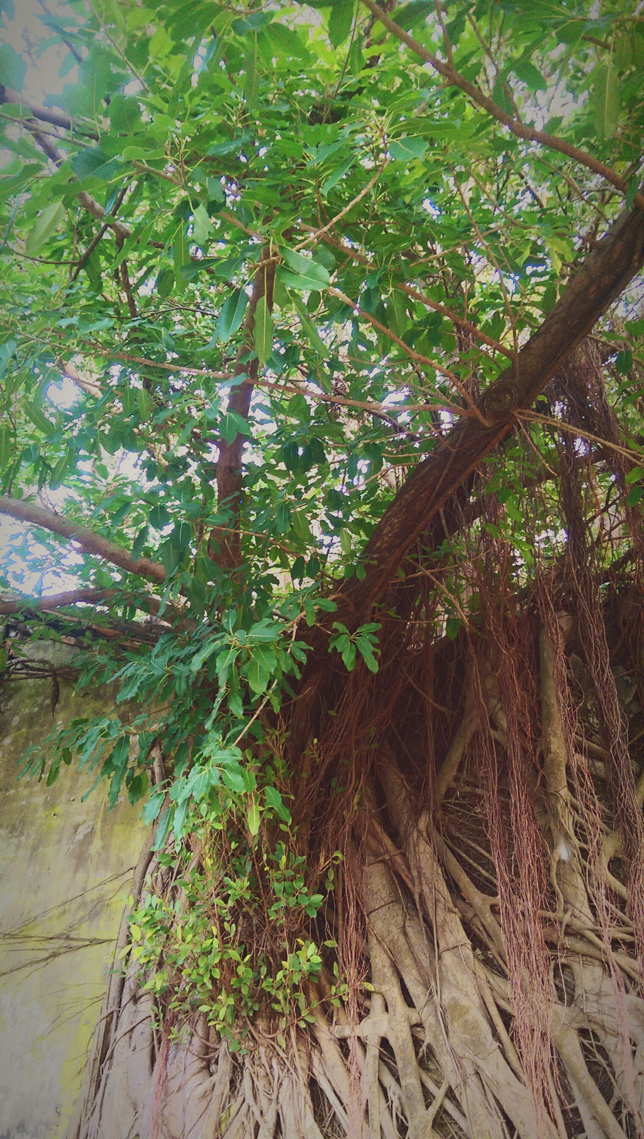growth, tree, nature, green color, no people, beauty in nature, low angle view, leaf, outdoors, day, branch, tranquility, backgrounds, freshness, close-up