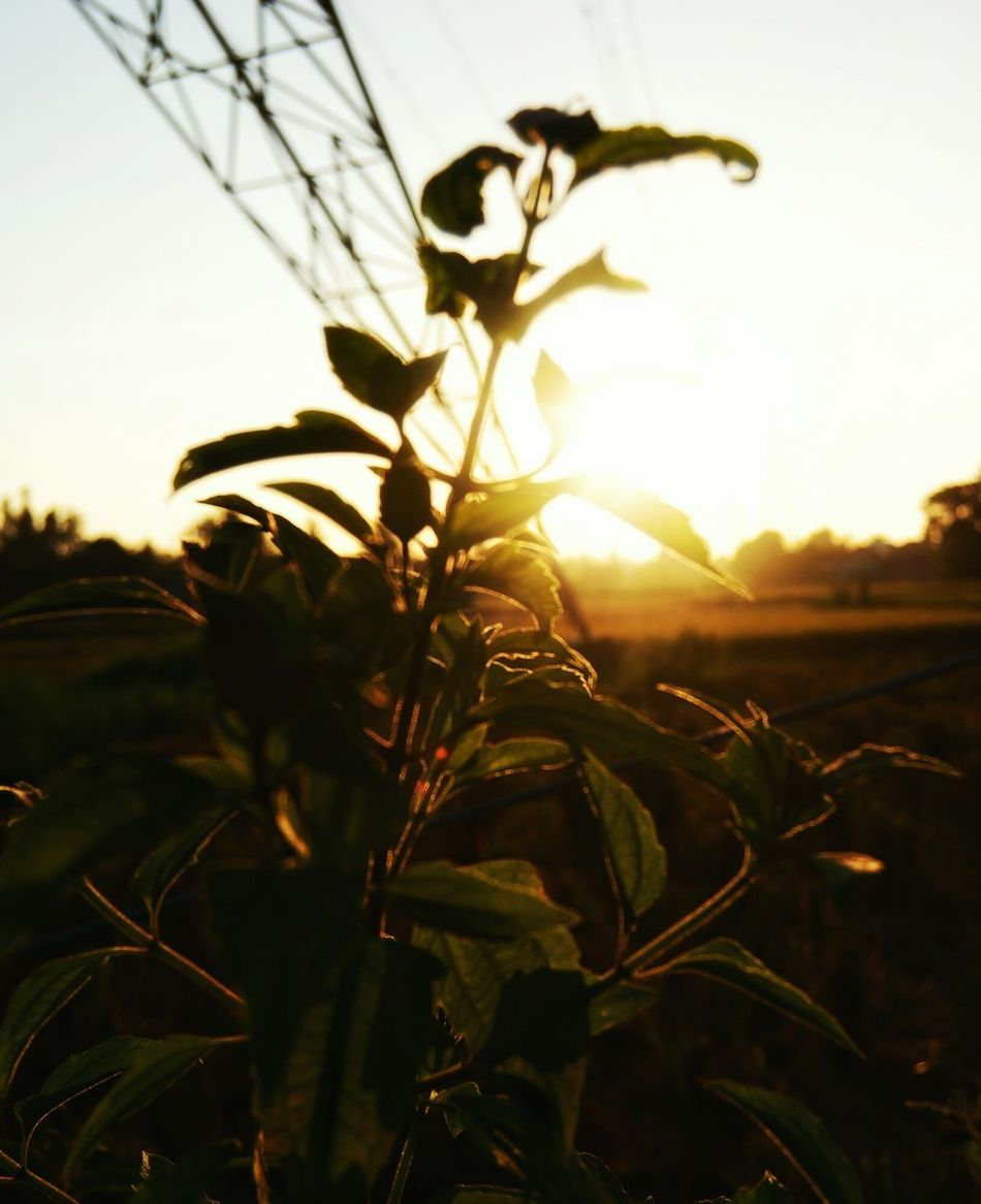 Plant Nature Agriculture Sunset Rural Scene Sunlight Outdoors Branch Landscape Close-up Tree Beauty In Nature Sky Defocused Growth Farmfield Wanderlust Bacpacker Leisure Activity Rural Exploration Agriculture Silhouette The Secret Spaces Long Goodbye