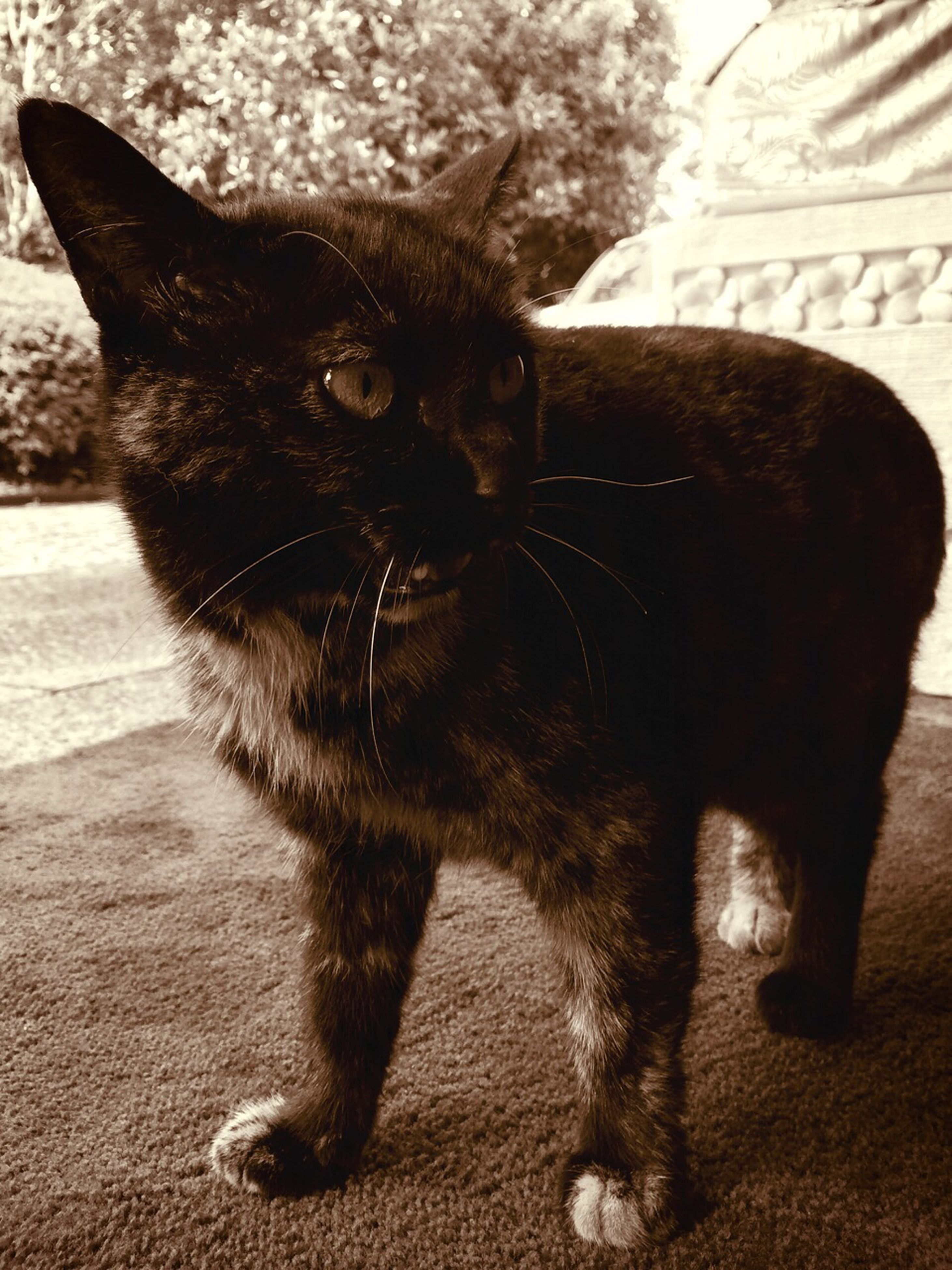 animal themes, one animal, domestic animals, mammal, pets, black color, domestic cat, close-up, feline, animal head, cat, portrait, whisker, looking at camera, sitting, zoology, no people, outdoors, front view, day
