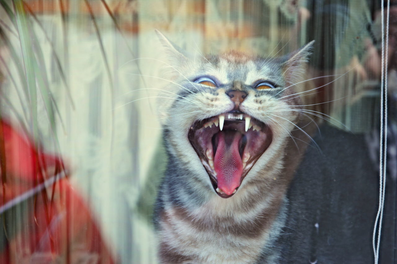 Animal Themes Cat Close-up Day Domestic Animals Domestic Cat Feline Indoors  Mammal No People One Animal Pets Sneezes Whisker Yawning