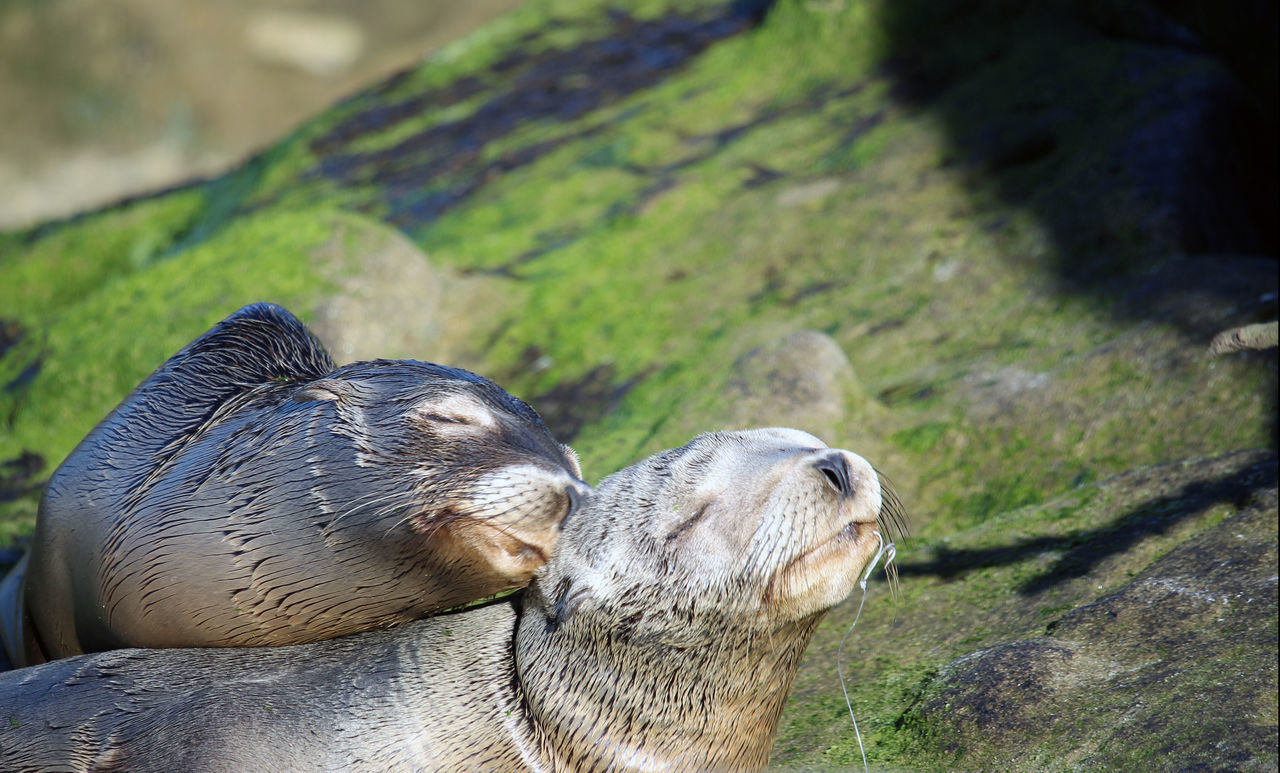 One Seal Nuzzling A Friend Seal Comforts A Friend In Nee Seal Friend Seal With Hook In Mouth Comforted By Another Sea Seals In The Suns Seals On The Ro Seals On The Sea Shore Two Seals On The Ba