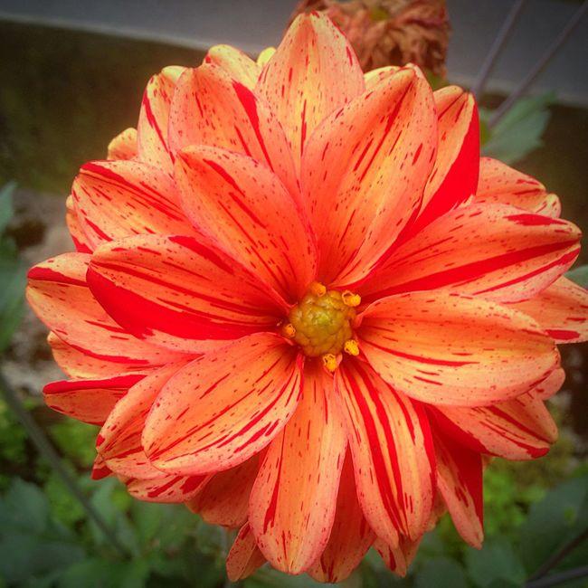 Glaubt es oder nicht , aber dieses Bild ist tatsächlich mit meiner Handy kamera aufgenommen worden 😂😍 Flower Flower Head Nature Petal Beauty In Nature Freshness Outdoors Blooming Rot Gelb Rotgelb Roteblume Gelbeblume Ausdemgarten Handykamera