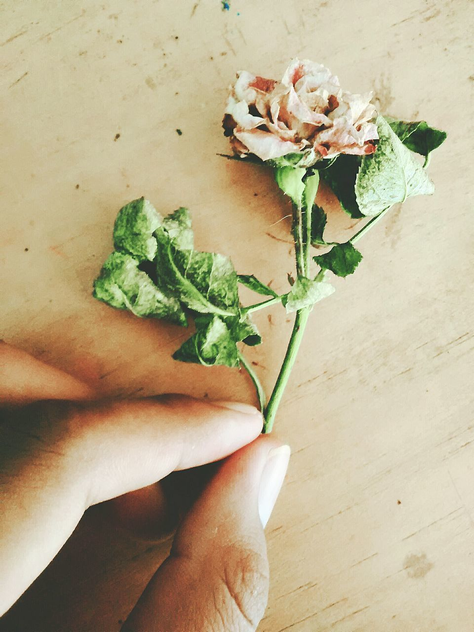 human hand, human body part, flower, indoors, table, holding, rose - flower, one person, freshness, high angle view, close-up, real people, bouquet, fragility, food, flower head, nature, day, people