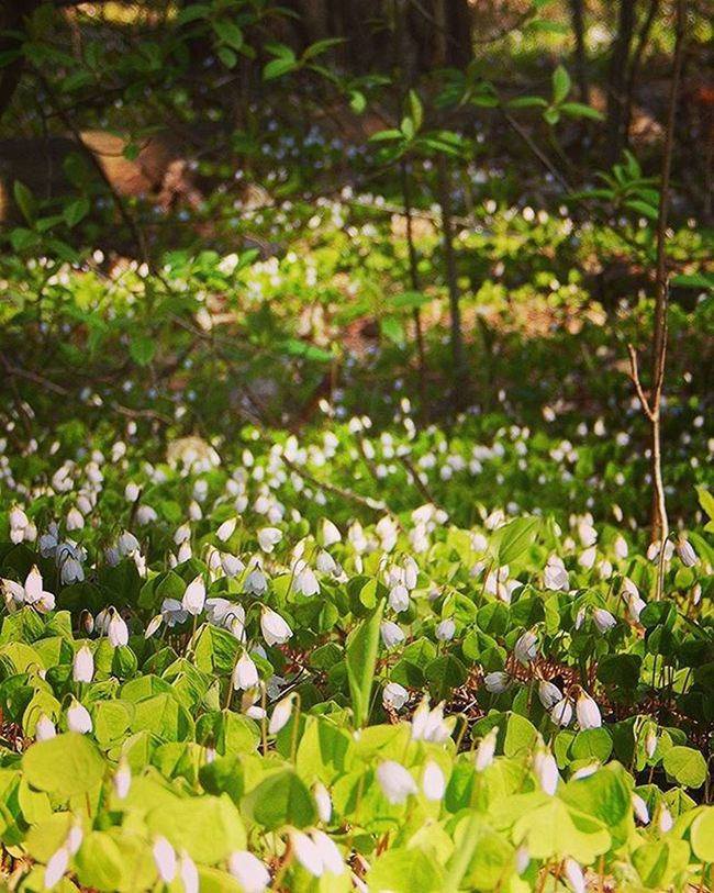 🍀🍀🍀🍀🍀 Zaķkāposti Mežs Ziedi Pavasaris Pavasaraziedi Forest Flowers Spring Springflowers Nature Naturephotography Nature_brilliance Nature_wizards Show_us_nature Fotofanatics_nature_ Fotofanatics_flowers_ Flowerstagram Ig_flowers Amateurs_shot Best_free_shot Total_shot Everything_imaginable Heart_imprint Latvija Latvijasdaba latviaiswonderful thisislatvia