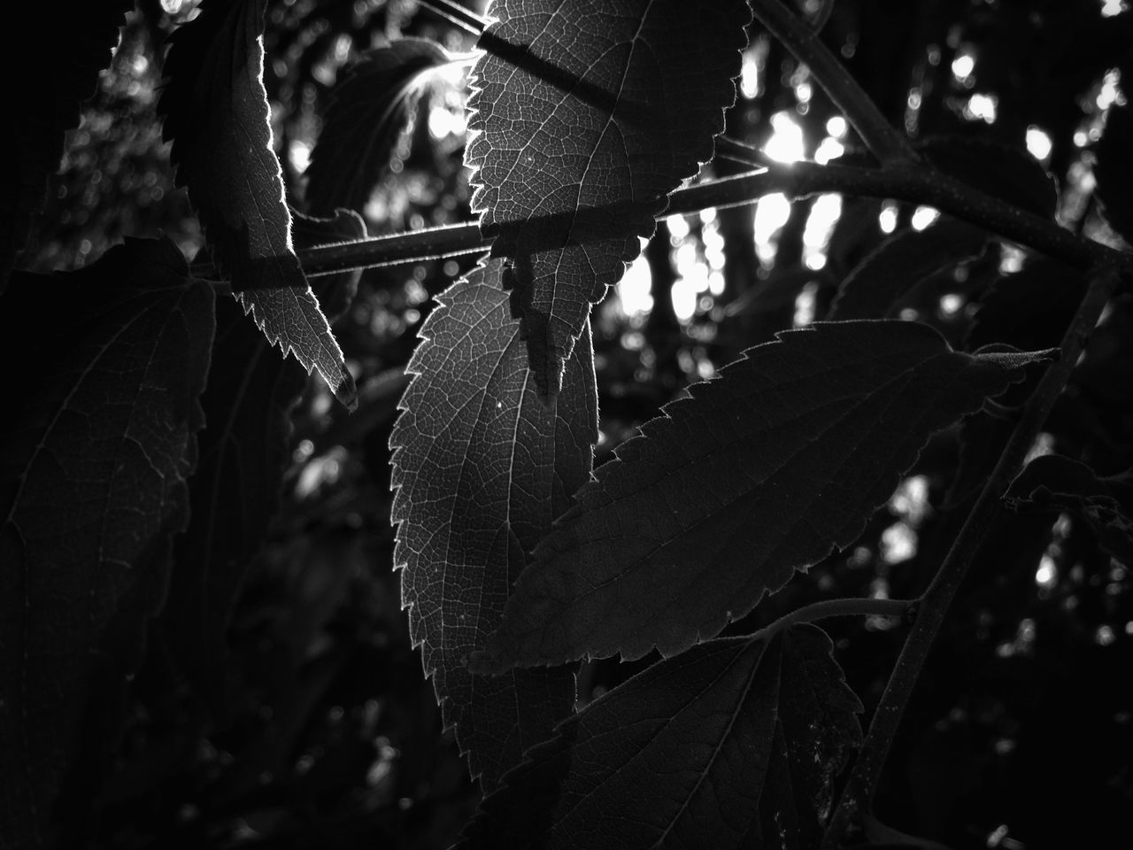 Shades Of Grey Leaves Tree Black And White