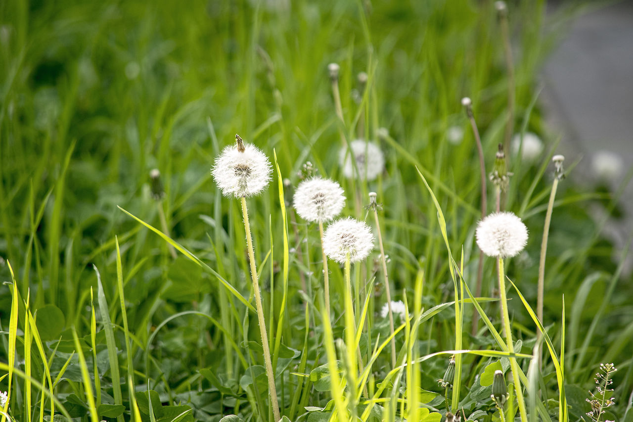 flower, growth, nature, beauty in nature, grass, fragility, white color, field, plant, freshness, green color, flower head, no people, tranquility, outdoors, day, blooming, close-up