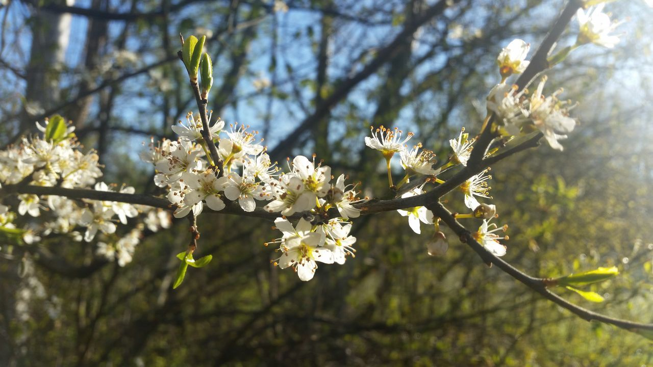 Flower Tree Blossom Branch Springtime Nature Growth Fragility Beauty In Nature Orchard Freshness Outdoors Day Twig No People Focus On Foreground Sunlight Close-up Flower Head Sky