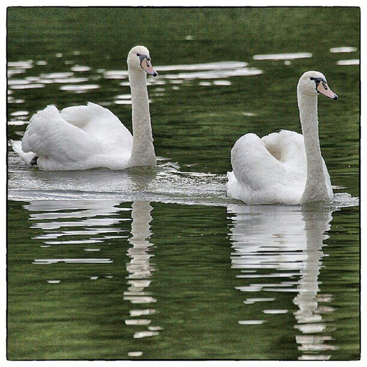 Igersslovenia Igersljubljana Swans Instagood photooftheday instamood igers picoftheday igdaily bestoftheday