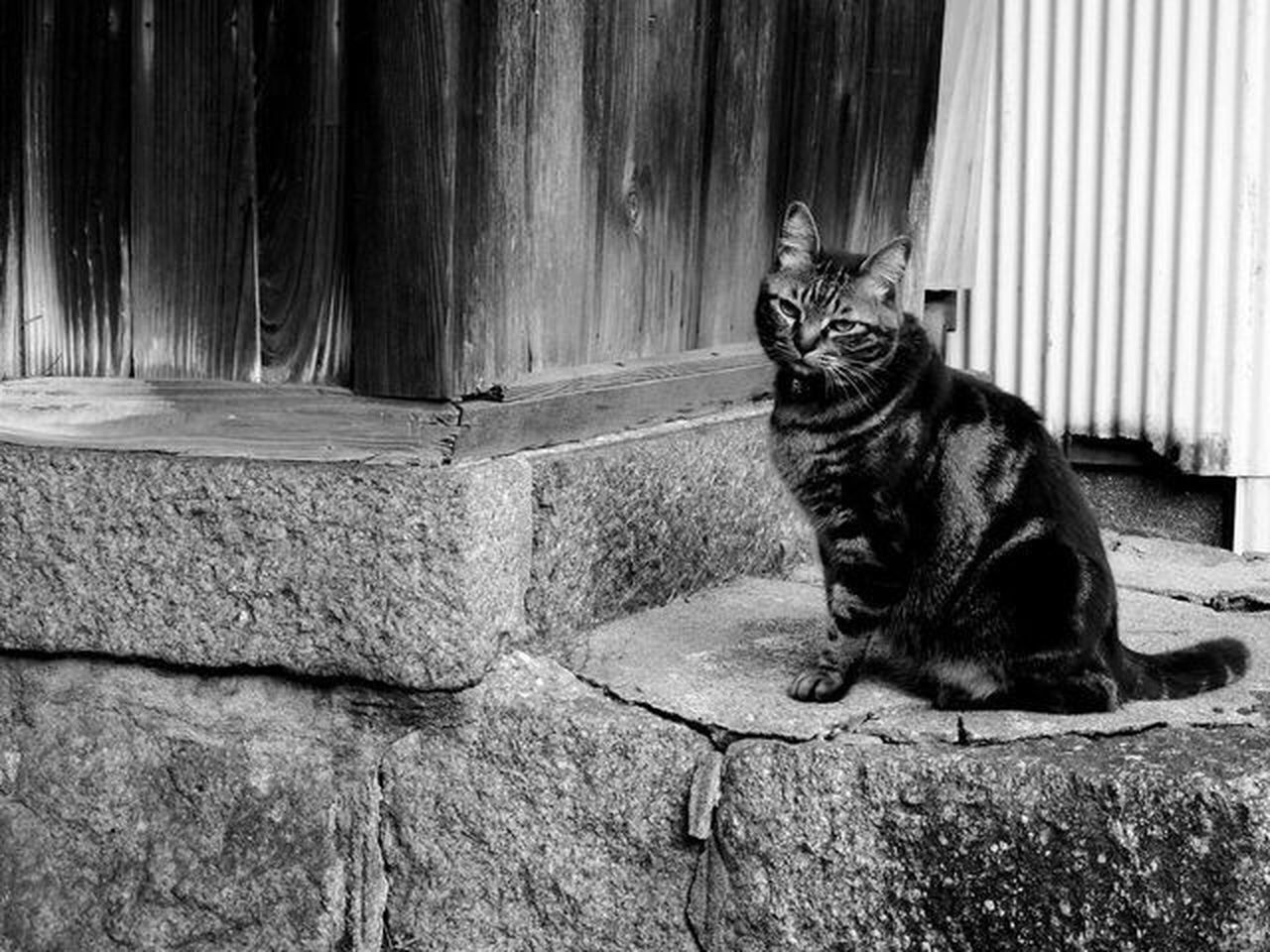 The Great Outdoors - 2017 EyeEm Awards The Street Photographer - 2017 EyeEm Awards The Photojournalist - 2017 EyeEm Awards Animal Themes Wildcat Cattown One Animal Oldtown Looking At Camera Portrait No People Nikonphotography Live For The Story 세계 NoPeopleAround Alone Monochrome Blackandwhite Hiroshima Onomichi 尾道 Exploring EyeEmNewHere Place Of Heart Countryside
