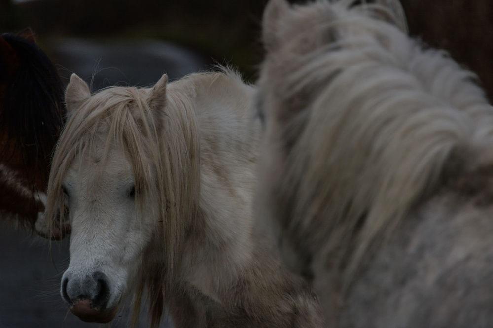 Welsh Mountain Ponies Brechfa Common Brecon Beacons Brecon Beacons National Park Brechfa Common Brecon Breconbeacons Equine Equine Photography Equinephotography Equines Of Eye Em Welsh Mountain Ponies Welsh Mountain Pony