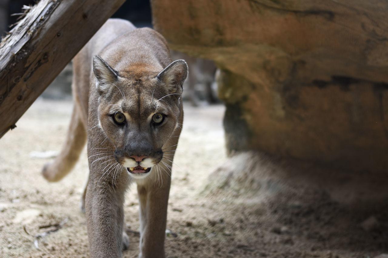 Beautiful stock photos of puma,  Animal Themes,  Animal Wildlife,  Close-Up,  Day