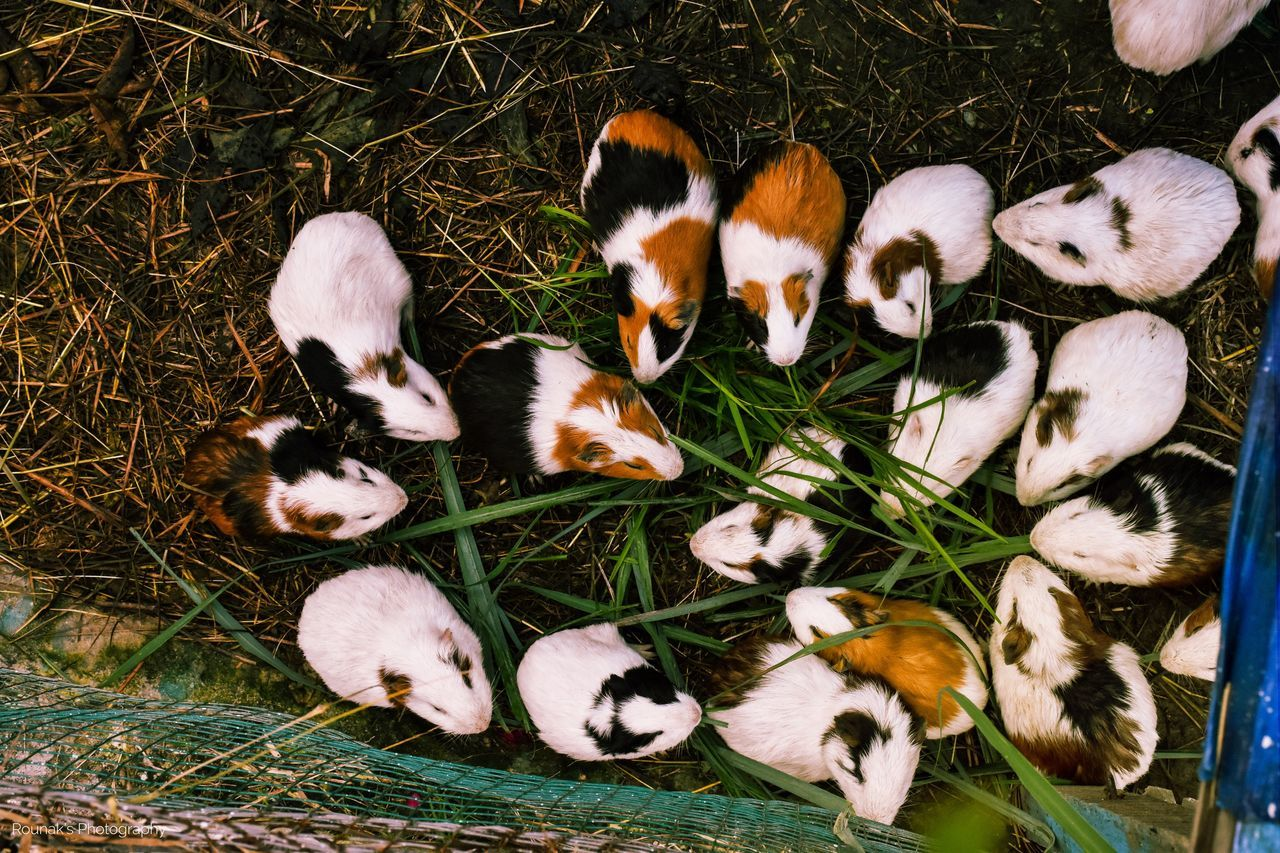 High Angle View Of Guinea Pigs In Cage