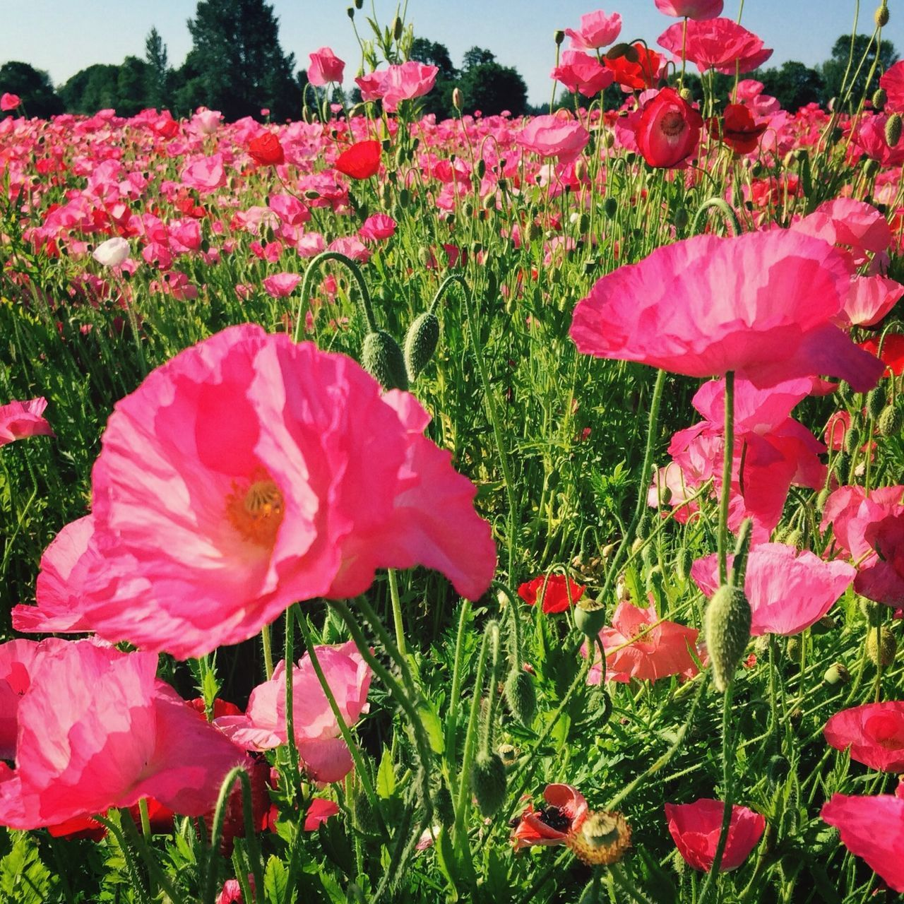 Blossoming pink poppy field
