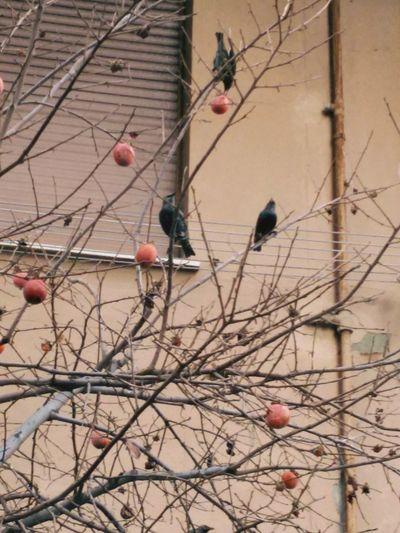 Tordi invernali sul caco x il pranzo Animal Wildlife Animal Themes Bird