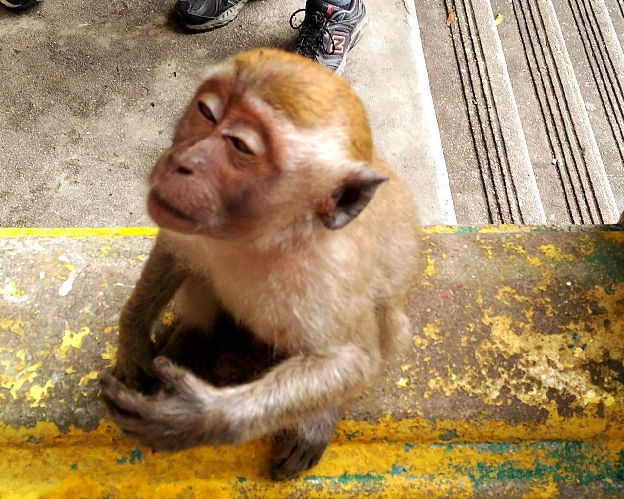 Monkey Batu Caves -Malaysia Animal Nature