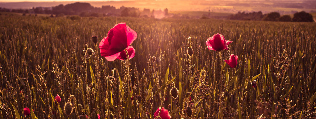 Agriculture Beauty In Nature Cereal Plant Close-up Field Flower Flower Head Fragility Grass Growth Landscape Nature Petal Plant Poppy Poppy Flowers Poppy Seed Red Color Rural Scene Sunlight Sunset Tranquil Scene Tranquility Warm Light Wheat