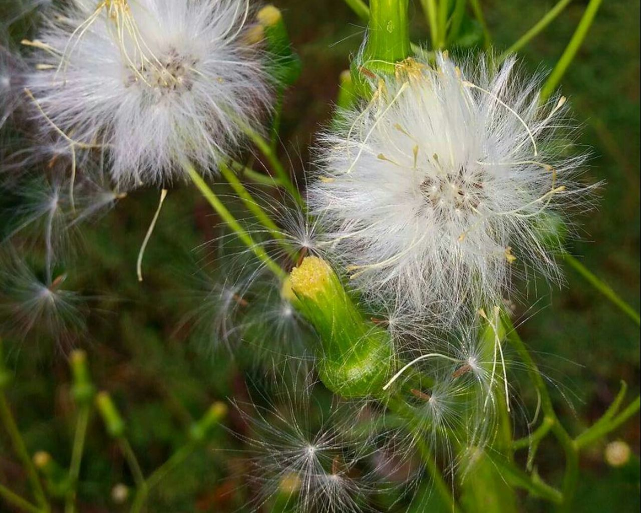 flower, dandelion, growth, nature, fragility, plant, freshness, delicate, flower head, beauty in nature, no people, close-up, outdoors, day