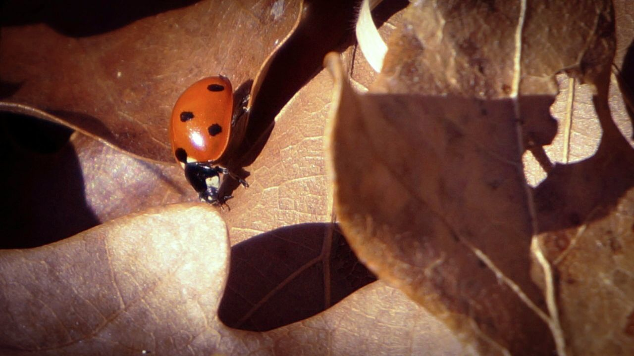 one animal, animal themes, animals in the wild, insect, close-up, animal wildlife, sunlight, day, outdoors, no people, shadow, nature, ladybug