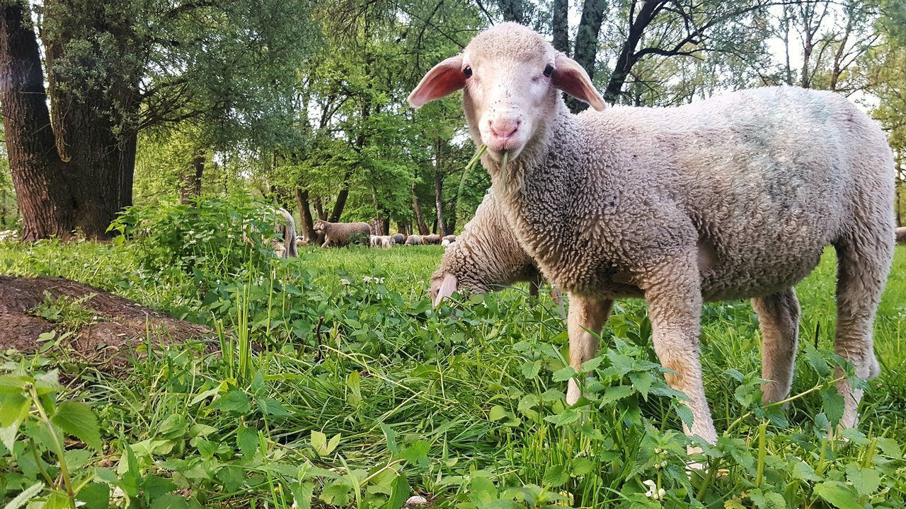 Domestic Animals Animal Themes Mammal Grass Livestock One Animal Green Color Day No People Outdoors Nature Young Animal Growth Tree Grass Tree Mowing Mowing The Grass Mowing The Lawn Sheeps Sheeps 🐑 Sheep🐑 Sheep EyeEmNewHere