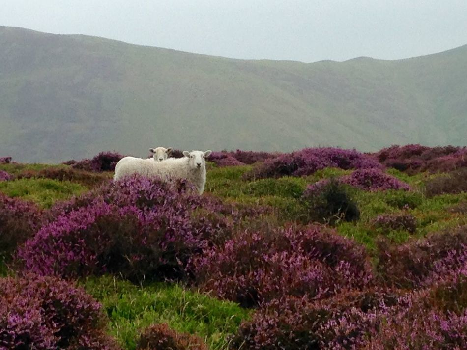 On A Hike Sheep Countryside Wilderness Moor  Heather Wild Lost