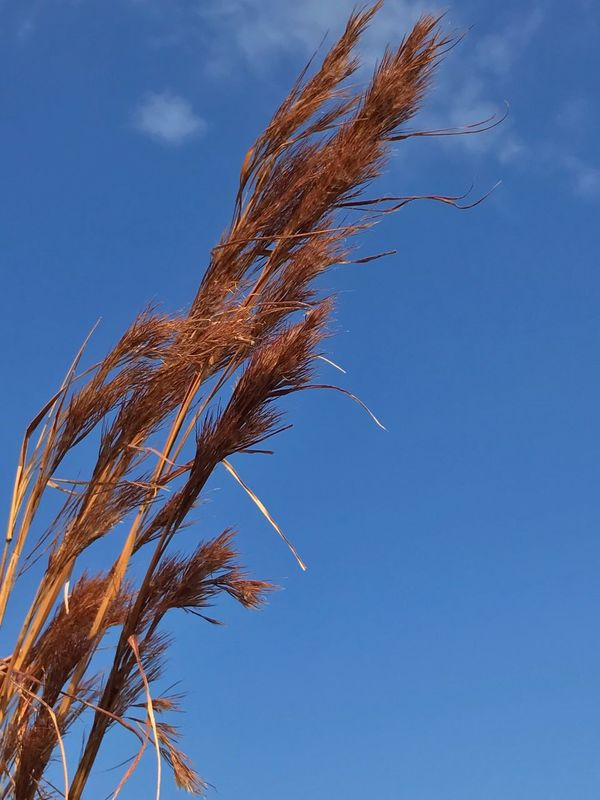 Beach Grass Against Blue Sky Blowing In The Wind  Low Angle View Nature Growth Blue No People Outdoors Day Sky Close-up Beauty In Nature