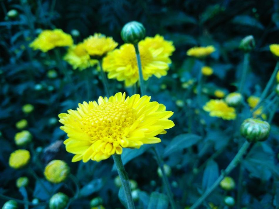 Yellow Flower Beauty In Nature Freshness Plant Flower Head Blooming Yellow Color Plant Nature