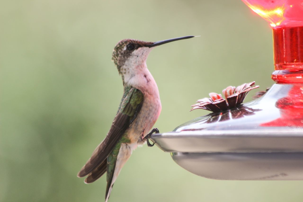 Beautiful stock photos of hummingbird, Animal Themes, Bird, Bird Feeder, Centreville