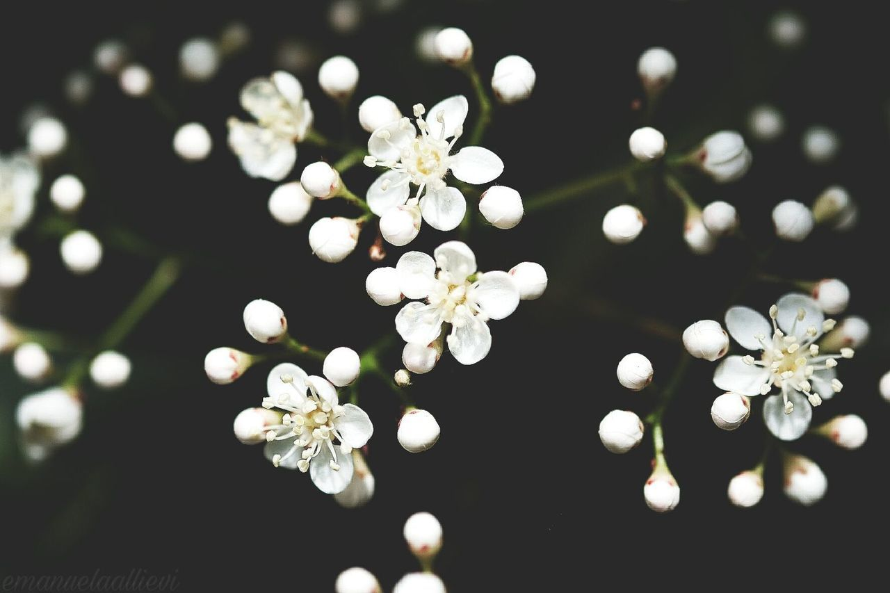 white color, flower, no people, nature, close-up, beauty in nature, day, freshness, outdoors