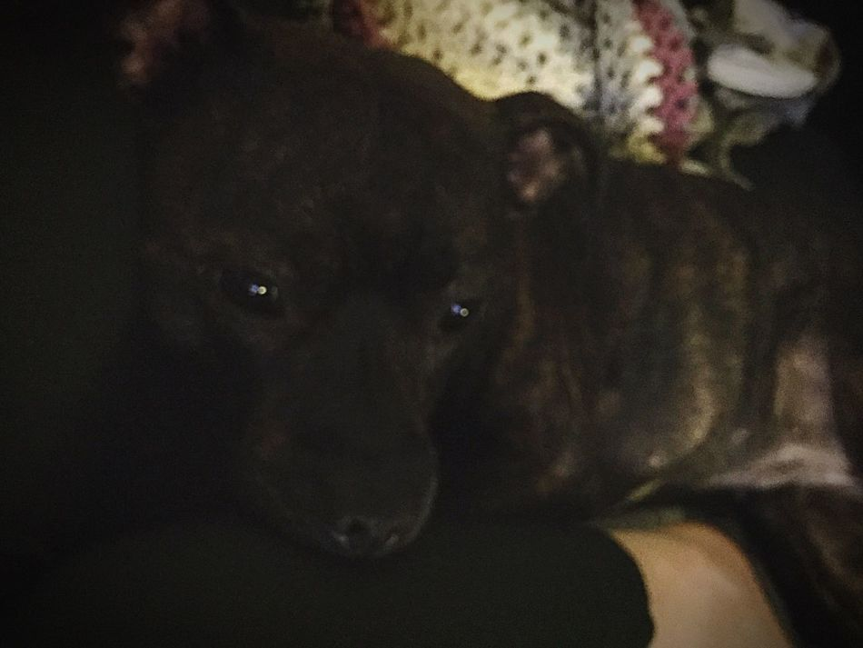 Winter-cosyness with my mommy 💜🐶❄️💞 Staffordshire Bull Terrier Can't Live Without Mydogiscoolerthanyourkids Lookatthatface Staffylove Cosy At Home Cutenessoverload Myoneandonly Lovemybabydog Nighttime Ilovemydog Cute Pets