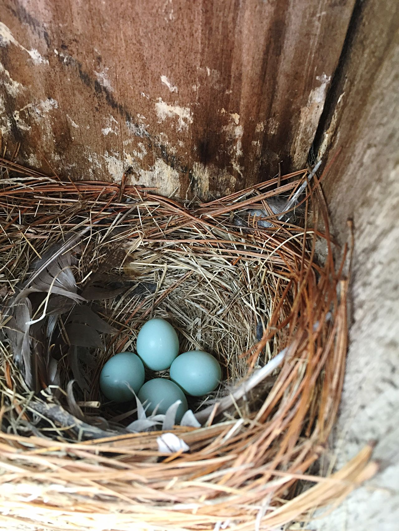 Bluebird Eggs spring Life nest Blue Birdhouse Love Cozy oval Egg Wisconsin eastern bluebird project Feather  beauty in nature