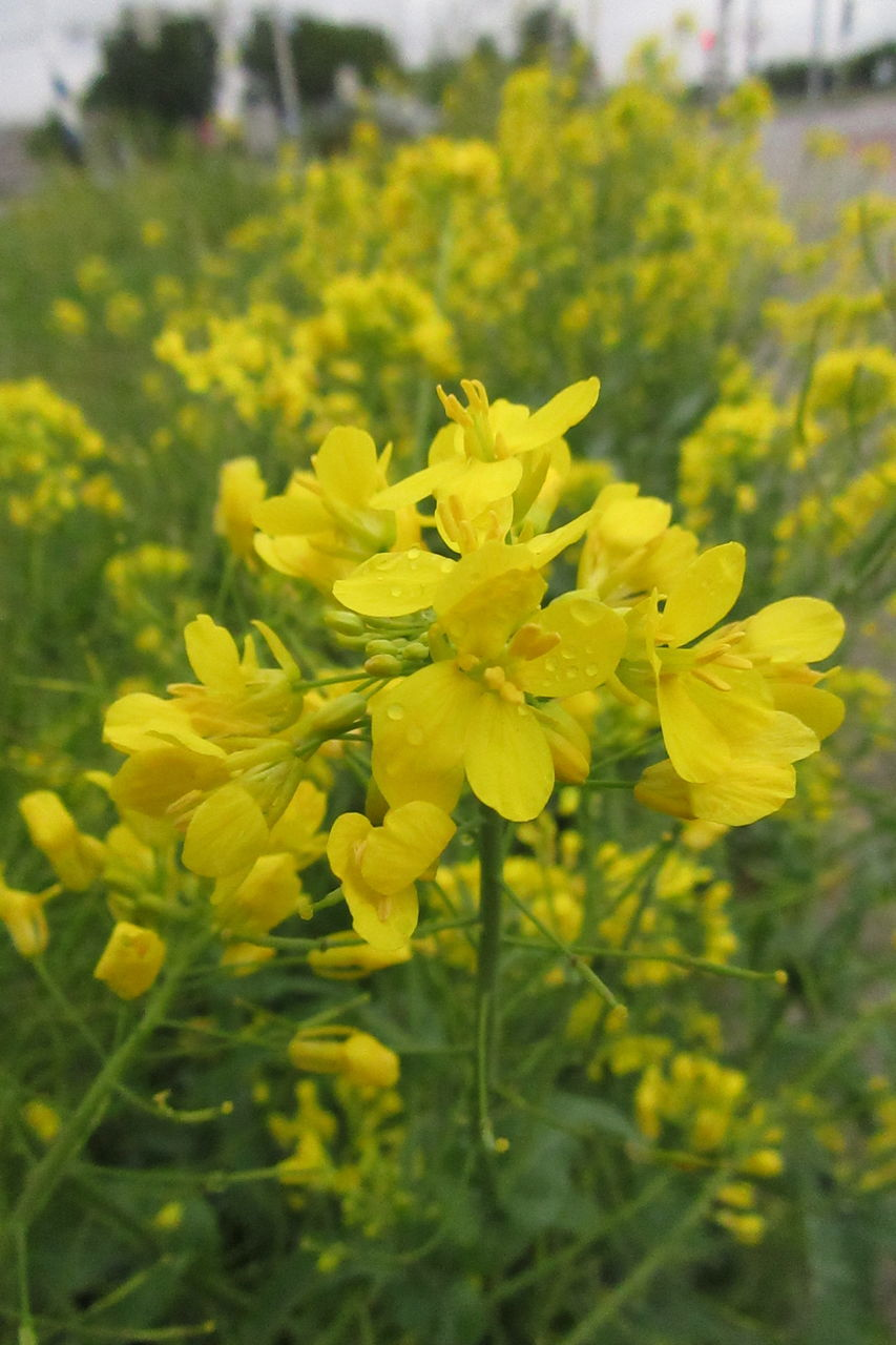 yellow, flower, growth, nature, plant, beauty in nature, field, delicate, oilseed rape, outdoors, tranquility, fragility, mustard plant, blooming, day, no people, freshness, close-up