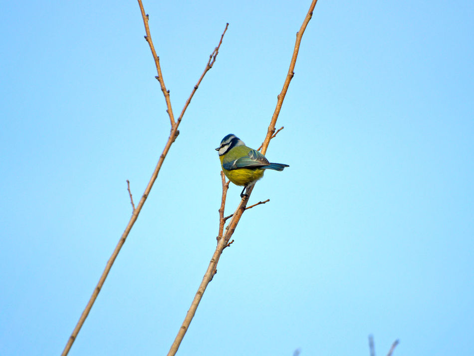 Animal Themes Animal Wildlife Animals In The Wild Animals In The Wild Bird Birds Blue Bluetit Branch Clear Sky Cyanistes Cyanistes Caeruleus Day Environment Low Angle View Nature Nature No People One Animal Outdoors Perching Sky Tree Wildlife