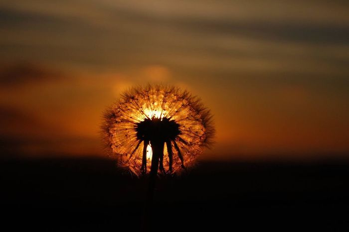 Neverending sunset in Iceland Dandelion Focus On Foreground Flower Growth Nature Fragility Close-up Freshness Flower Head Beauty In Nature Softness Single Flower Dandelion Seed Uncultivated Scenics No People Iceland