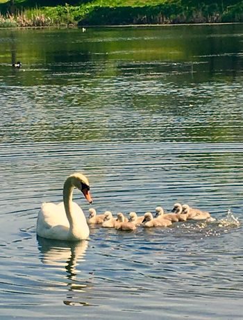 'Divingschool Continues' Animals In The Wild Lake Swimming Water Bird Animal Themes Water Bird Swan Animal Wildlife Floating On Water Nature Day No People Outdoors Swantastic Swanlings Swanlove SwanLife Swans ❤ Oslo 2017 Summer Summertime Diving Togetherness KJ✨
