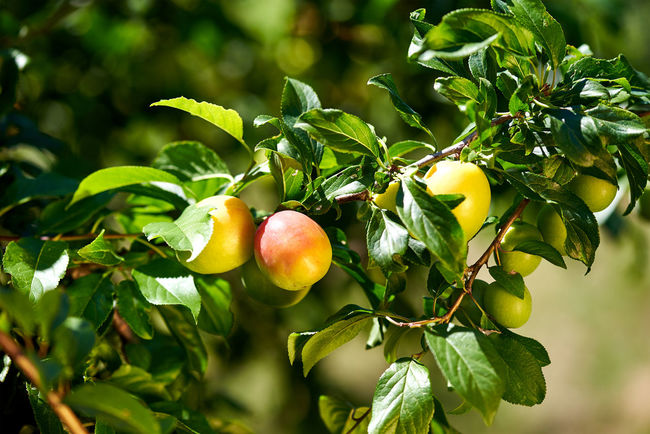 Agriculture Apple Tree Apricot Tree Beauty In Nature Berry Branch Close-up Day Farm Focus On Foreground Food Food And Drink Freshness Fruit Green Color Growth Healthy Eating Leaf Nature Red Selective Focus Tree