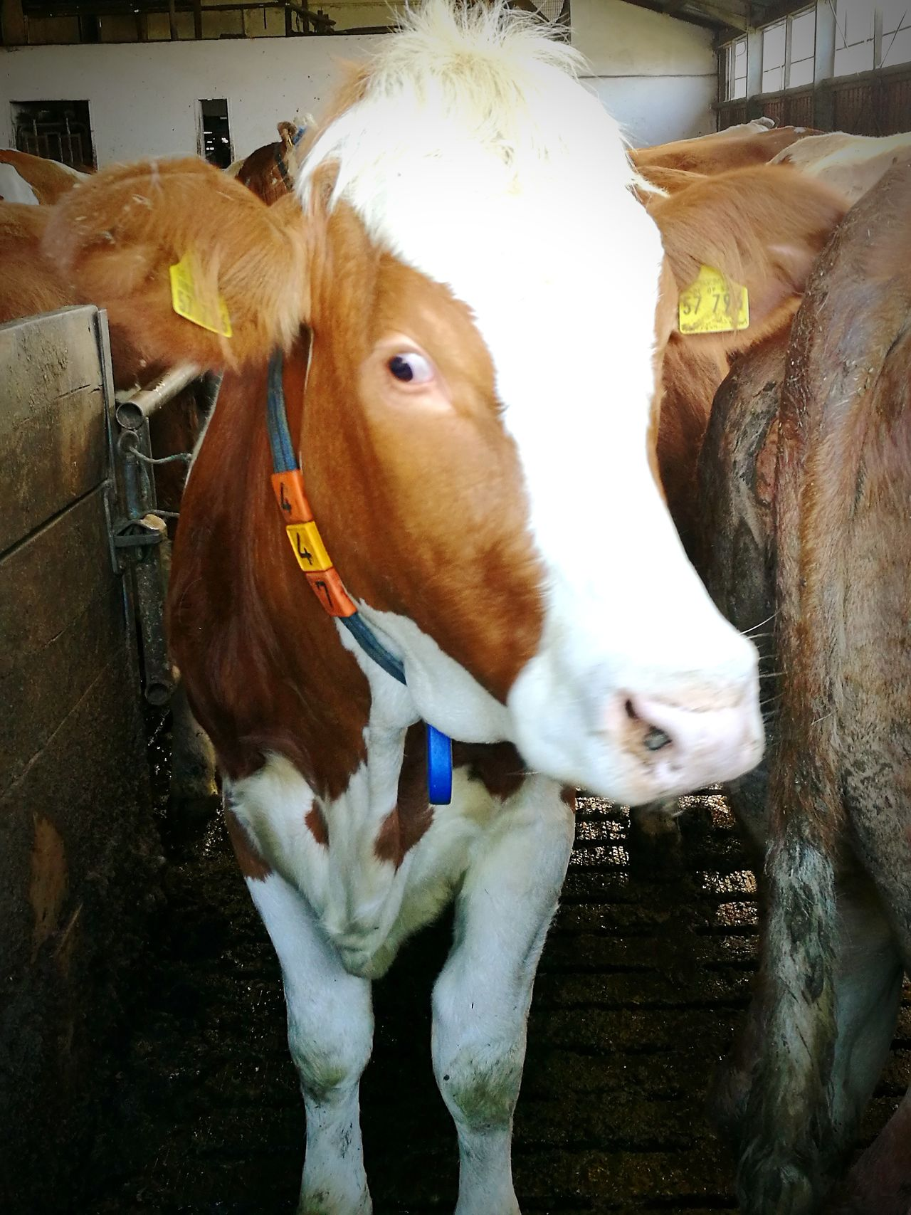 Domestic Animals Animal Themes One Animal No People Cow Milk Gerda