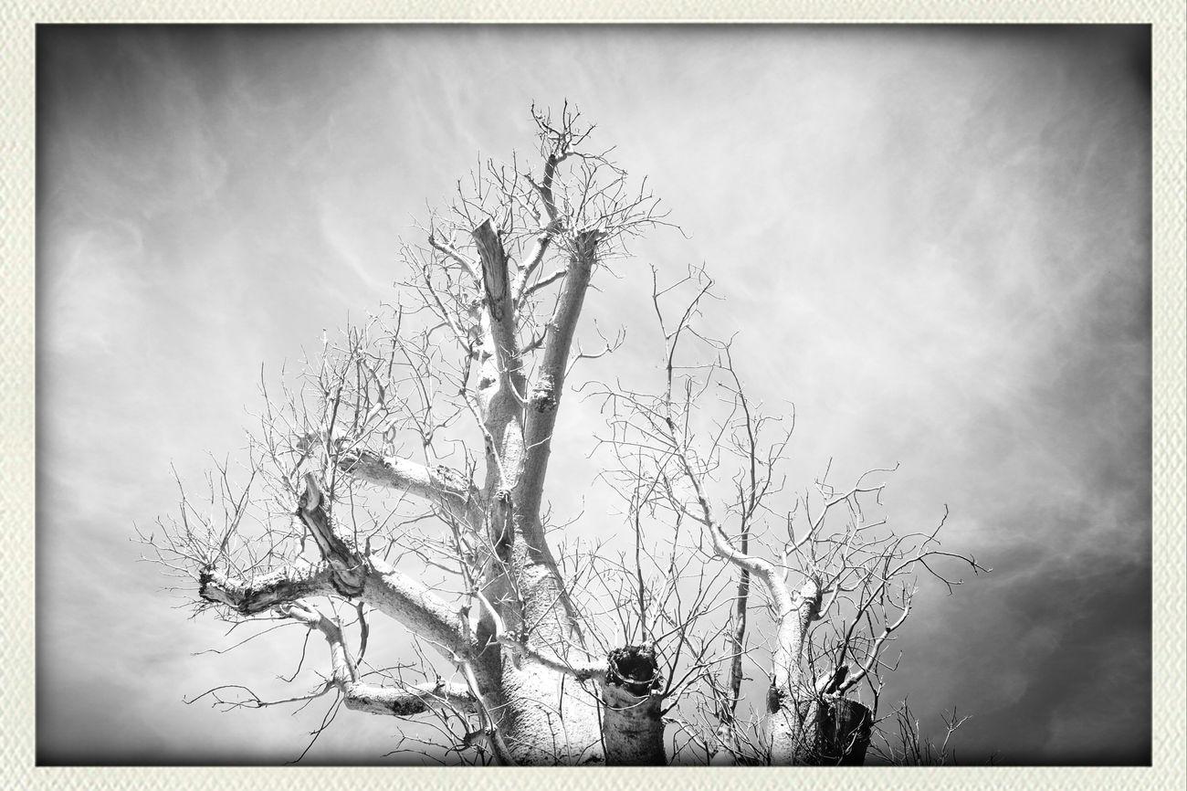 Old Tree Tree And Sky Naturelover Boab Tree