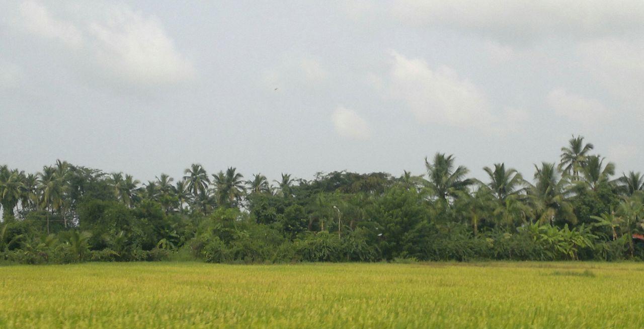 Green Green Landscape Coconut Groove Sea Side