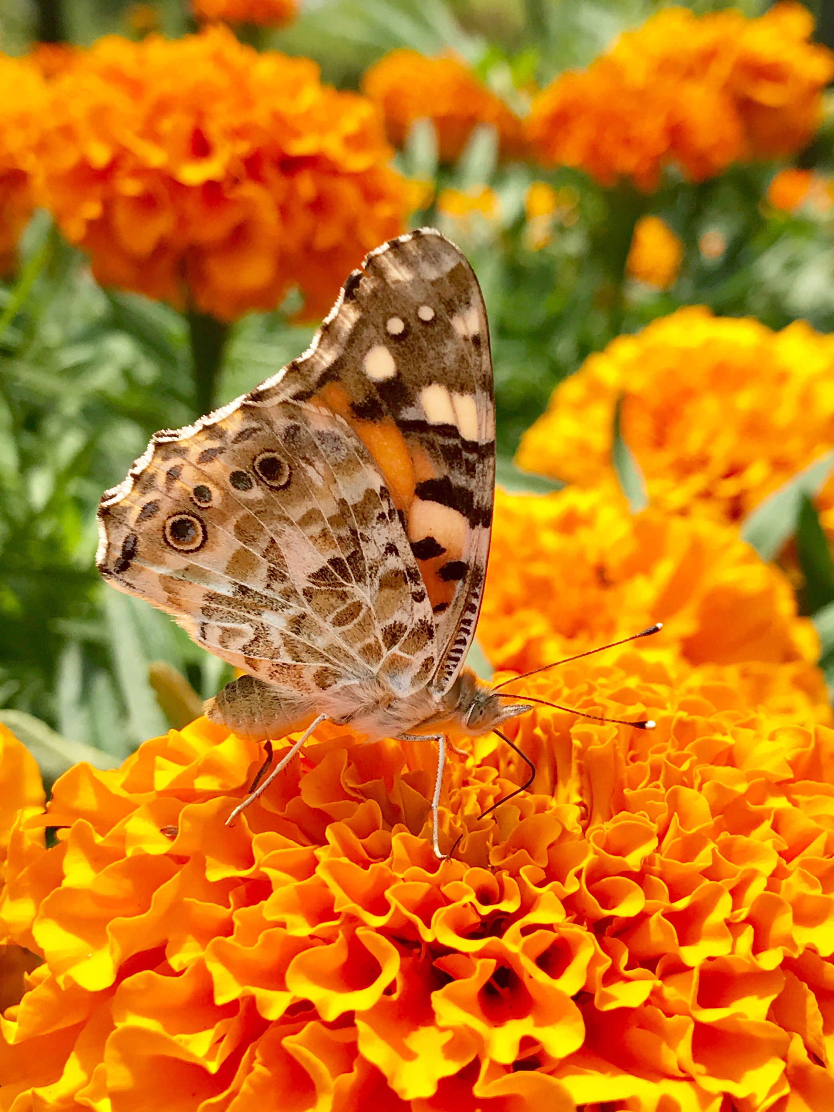 butterfly - insect, flower, one animal, animal themes, animals in the wild, beauty in nature, fragility, orange color, nature, insect, butterfly, freshness, outdoors, close-up, growth, animal markings, plant, no people, animal wildlife, petal, flower head, day, pollination, yellow, lantana camara