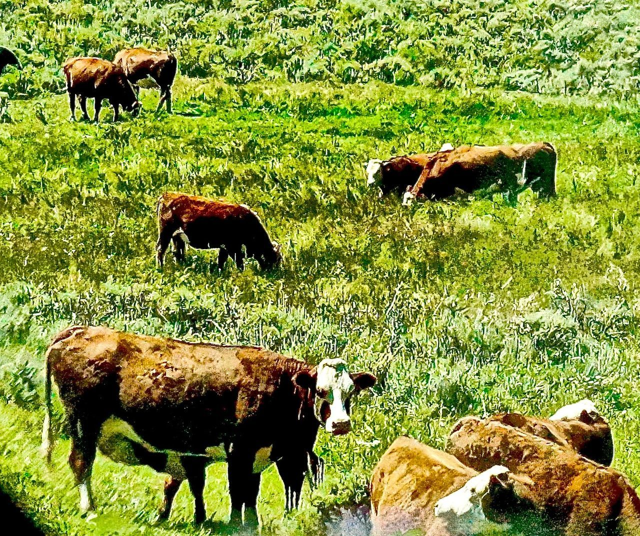 Animal Family Animal Themes Cattle Cattle Ranch Cow Cows Cows Grazing Cows In A Field Cows In The Feilds Cows Of Eyeem Cows!!! Cows🐮 Day Domestic Animals Field Grass Grazing Herbivorous Livestock Mammal Nature No People Outdoors Steamboat Springs Sunlight