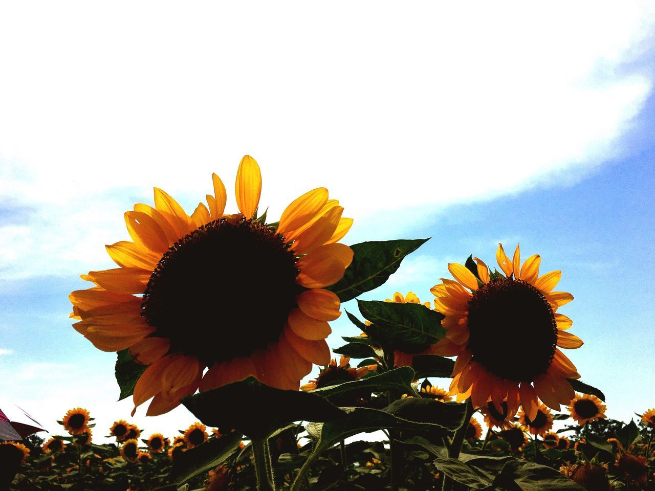 Flower Nature Beauty In Nature Petal Growth Flower Head Fragility Plant Freshness Sky Sunflower Outdoors Blooming Day Close-up Field Cloud - Sky No People Yellow Black-eyed Susan Eyeem Philippines