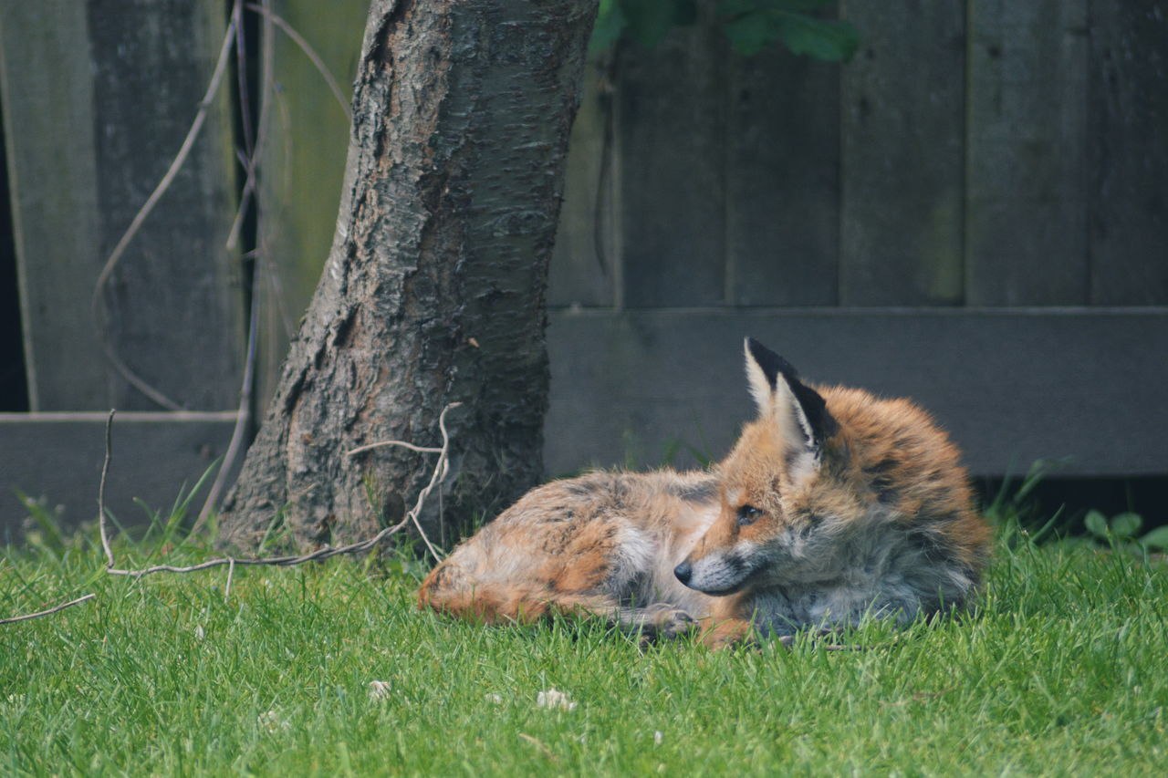 Animal Themes Animals In The Wild Close-up Day Fox Garden Grass Looking Lying Down Mammal Nature No People One Animal Outdoors Relaxation